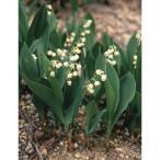 球根/すずらん白花種:裸苗3株袋詰め