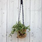 観葉植物/インダストリアルハンギングポット:フィカス プミラ・サニーホワイト3号ポット