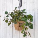 観葉植物 / グレープアイビーの鉢植え・インダストリアルハンギングポット入り