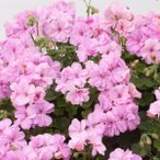 草花の苗/アイビーゼラニウム:pacロジー3.5ポット