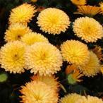 草花の苗/ポットマリーゴールド:まどかレモンセミフレッド3.5号ポット