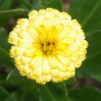 草花の苗/ポットマリーゴールド:まどかオレンジフレーバー3.5号ポット