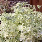 草花の苗/サクラソウ:ウインティーライムグリーン3.5号 2株セット