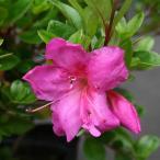 花木 庭木の苗/サツキツツジ:紫牡丹(ムラサキボタン)5号ポット5株セット