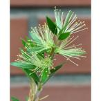 花木 庭木の苗/カリステモン:グリーンボトルブラシ5号ポット