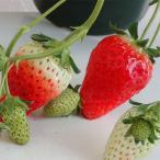 Yahoo!園芸ネット棚卸セール イチゴ:あきひめ(章姫)5号鉢植え