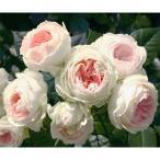 バラの苗/四季咲中輪バラ:パシュミナ新苗
