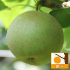 果樹の苗/梨(ナシ):甘太(かんた)5号ポット