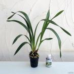 山野草の苗/シンビジューム:フォアゴットンフルーツ2.5号ポットと東洋蘭液肥 100ccのセット
