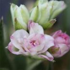 ロドヒポキシス 星形の小花を次々と咲かせる