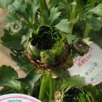 草花の苗/ラナンキュラス:キュレネ5号鉢植え