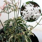草花の苗/ハゴロモジャスミン(羽衣ジャスミン):ミルキーウェイ3号ポット