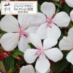 草花の苗/ノボタン:ピースベイビー4号ポット