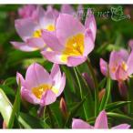 草花の苗/原種系チューリップ:ライラックワンダー2球植え3号ポット 3個セット