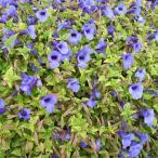鮮やかな斑入り葉に青紫色の花・夏から秋まで長く咲く!