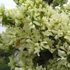 花木 庭木の苗/トキワマンサク:白孔雀(シロクジャク)3.5号ポット