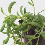 観葉植物/ミカヅキネックレス3号ポット