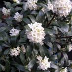 花木 庭木の苗/沈丁花(ジンチョウゲ):白花 3.5号ポット