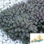観葉植物 セダム ダズルベリー3号ポット