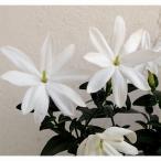 草花の苗/ジャスミン:木立性星咲ジャスミン4号ポット