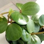 Yahoo!園芸ネット観葉植物/棚卸セール ぺぺロミア :ホープ3号ポット苗