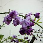花木 庭木の苗/17年2月中旬予約 フジ(藤):ヤエコクリュウ(ボタンフジ)6号ポット