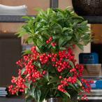 花木 庭木の苗/アルディシア:ボスプレミアム・レッドベリーズ5号プラ鉢