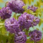 花木 庭木の苗/二季咲きアメリカフジ(藤):アメジストフォール3.5号ポット