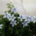 草花の苗/プラティア:ライトブルー3号ポット  2株セット