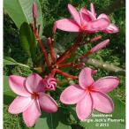 花木 庭木の苗/【わけあり特価】プルメリア:ピンク系4.5号ポット