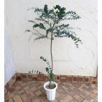 花木 庭木の苗/ユーカリ:ベイビーブルー6号ポット
