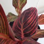 草花の苗/カラーリーフカンナ:ベンガルタイガー6号鉢植え