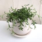 観葉植物/ミカヅキネックレス 陶器鉢植え/ステララウンド白S(直径11cm)