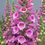 草花の苗/ジギタリス(フォックスグローブ):ダルメシアンパープル3.5号 2株セット