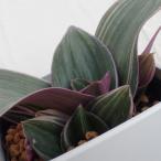 草花の苗/ムラサキオモト:オーロラミニ3.5号ポット