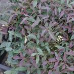 花木 庭木の苗/ナンテン(南天):フルート5号ポット