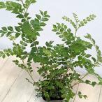 観葉植物/シマトネリコ3.5号ポット