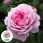 バラの苗/つるバラ:マリー ヘンリエッテ大苗