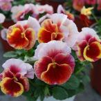 草花の苗/うえたコレクションビオラ:レインボーウェーブマーメイド3.5号ポット