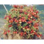 果樹の苗/クランベリー:バーグマン5号ポット