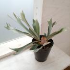 観葉植物/コウモリラン:ベイチー5号鉢