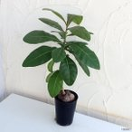 観葉植物/棚卸セール バーリングトニア5号鉢植え
