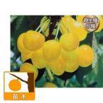 果樹の苗/サクランボ:黄玉4.5号ポット