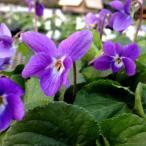 山野草の苗/ニオイスミレ:ドゥナフォルドヴァル(青紫)3号ポット
