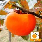 果樹の苗/カキ(柿):たいほう(太豊)4〜5号ポット