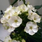 草花の苗/フロックス:ジェイド3.5号ポット