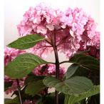 ショッピングアジサイ 花木 庭木の苗/アジサイ:トゥギャザーブラックビューティ3号ポット
