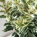 花木 庭木の苗/シマヒイラギ(縞柊)5号ポット樹高0.8m