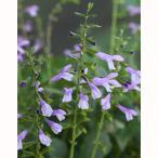 草花の苗/サルビア:イパネマ ラベンダー3号ポット