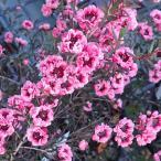 花木 庭木の苗/ギョリュウバイ:桃八重3号ポット